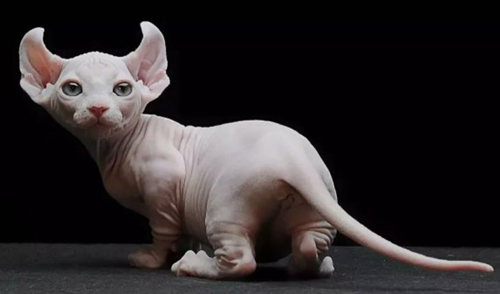 Dwarf cat is a mix of Sphinx, Americal curl and Munchkin