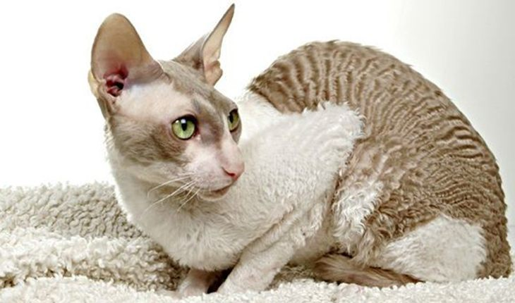 Cornish Rex – a cat with thick curly hair
