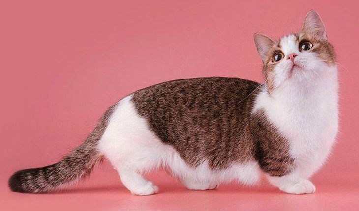 Munchkin – a cat with short paws