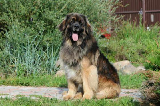 The Leonberger has lived with the actor for a long time